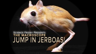 Jump In Jerboas –Science Friday