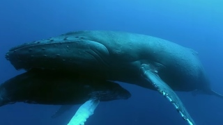 Baby Humpbacks Need 150 Gallons of Whale Milk a Day