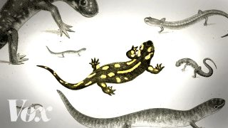 Save the salamanders, unsung heroes of the forest