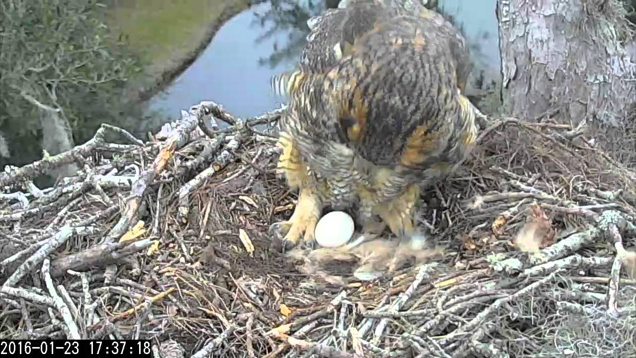Cornell Lab of Ornithology's Great Horned Owl Live Cam ...