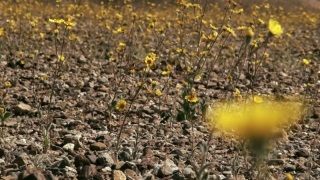 Superbloom: How Death Valley Springs to Life – Science Friday
