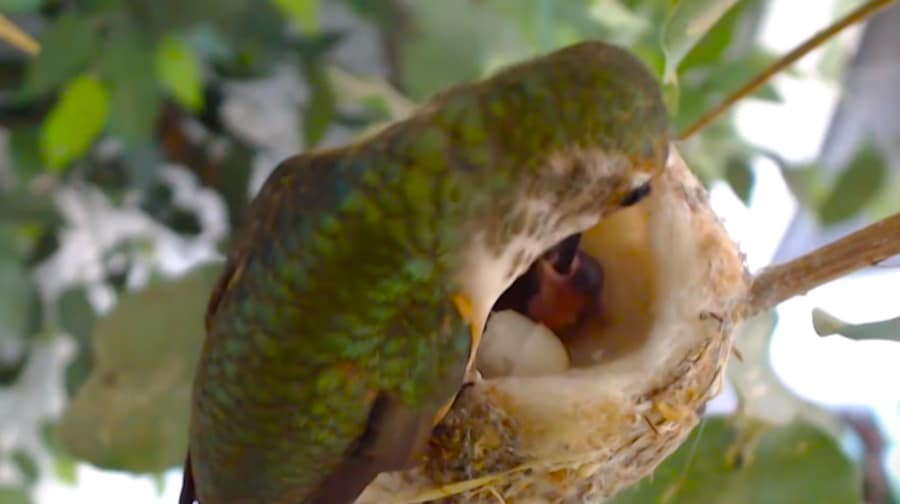 hummingbird hatchlings with mother