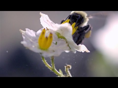 A bumblebee dislodges pollen in slow-mo