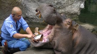 A hippo gets his teeth brushed