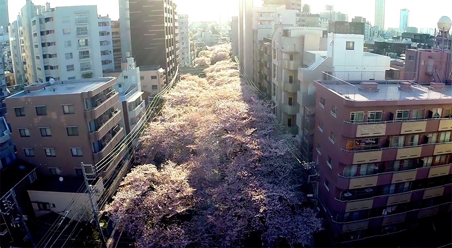 cherry blossoms by drone