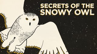 Secrets Of The Snowy Owl