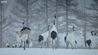 Trying To Save The Red Crowned Cranes Of Japan