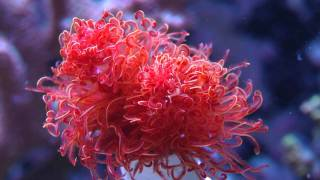 A Protula bispiralis (red fan worm) opening in real time