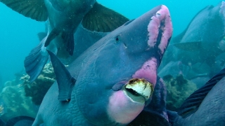 Humphead parrotfish poop helps create new island beaches