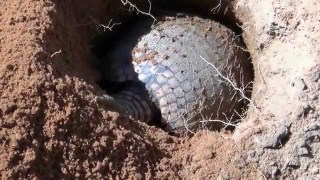 Four minutes of an armadillo digging a hole