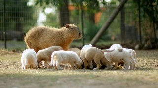 Cheesecake the Capybara Fosters Puppies