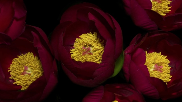 Spring, an epic 4K flower time lapse that took 3 years to make