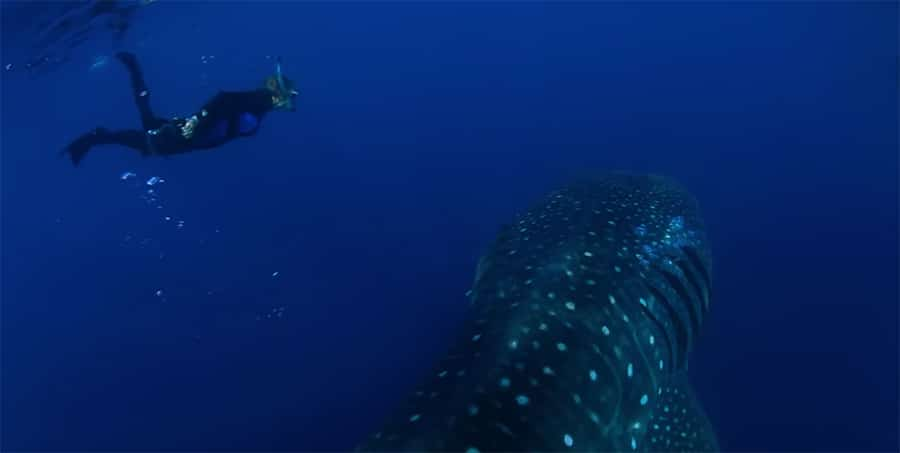 sylvia earle with whale sharks