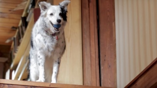 Chaser, the Border Collie that can understand 1022 words (or more)