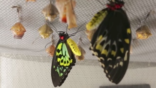 Witnessing butterflies emerge at the California Academy of Sciences
