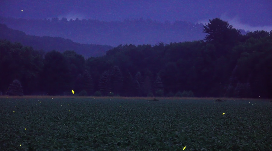 fireflies in a field - diana lehr