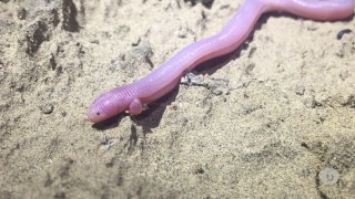 The elusive Bipes biporus, Baja's 'worm lizard'