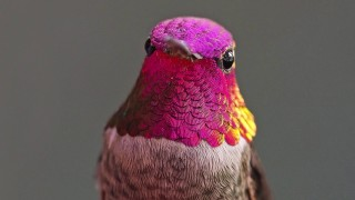 UCLA's Hummingbird Whisperer