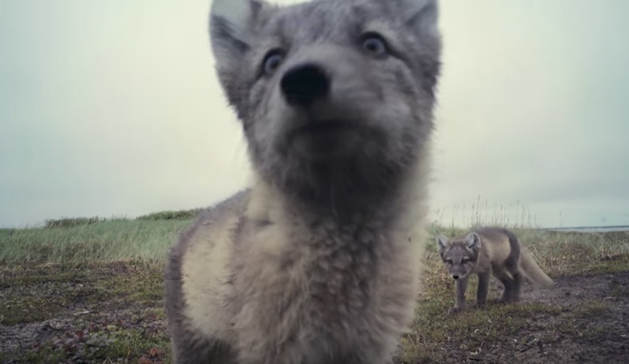 Curious Arctic Fox Kits Discover And Destroy Motion Sensor Camera The Should See This