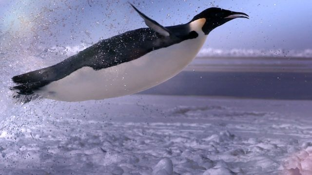 How does a penguin launch itself from the sea?