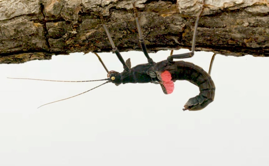 Peru's rare Black Beauty Stick Insect   The Kid Should See This