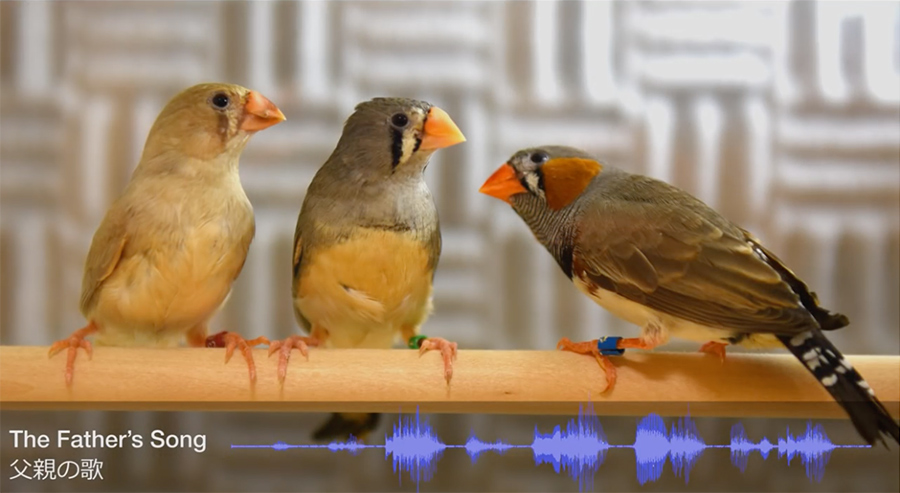 finches in okinawa study
