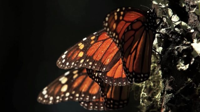 Go Into the Heart of a Kaleidoscope of Monarch Butterflies