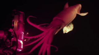 A bioluminescence expert catches a jumbo squid on camera for Blue Planet II