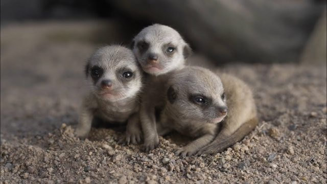 Baby meerkats scamper and explore at the Symbio Wildlife Park
