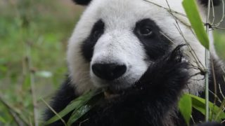 Giant pandas and their bamboo-only diet