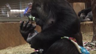 Calaya gives birth to baby gorilla Moke at The National Zoo