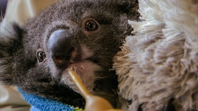 Danny the orphan koala plays with his carer