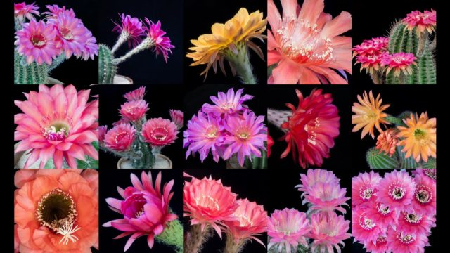 Freaky Flowers 3: Echinopsis flowers bloom in time lapse