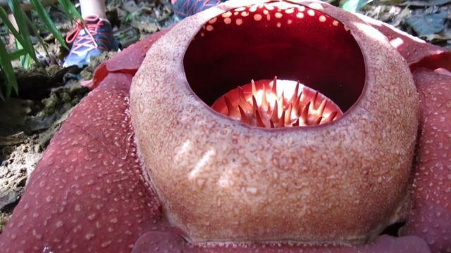 Rafflesia kerrii, the world's largest, smelliest flower?!