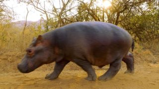 Spending time with two hand-raised orphan hippos