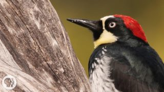 You'd Never Guess What an Acorn Woodpecker Eats – Deep Look