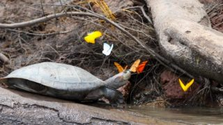 Butterflies and bees drinking turtle tears in the Peruvian Amazon