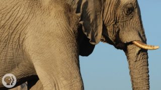 How Elephants Listen … With Their Feet