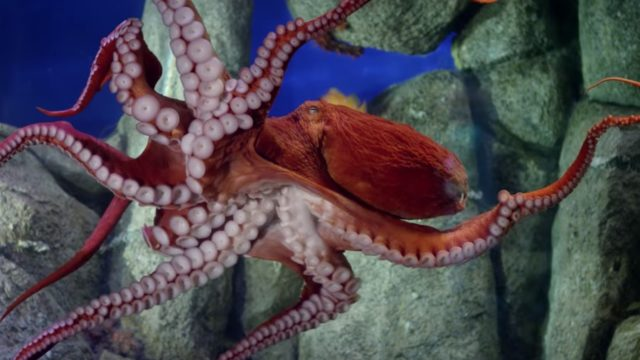 Octopus 101: Communication, breathing, and puzzle-solving