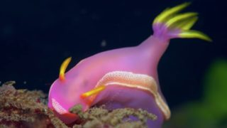 These stunning sea slugs steal 'weapons' from their ingested hydroid prey