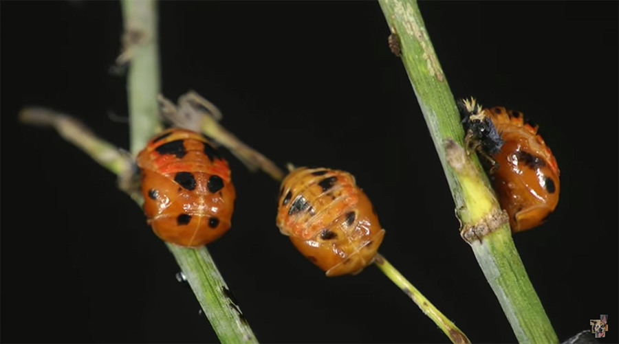 developing ladybugs