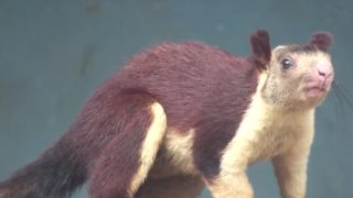 India's Malabar giant squirrel (Ratufa indica)