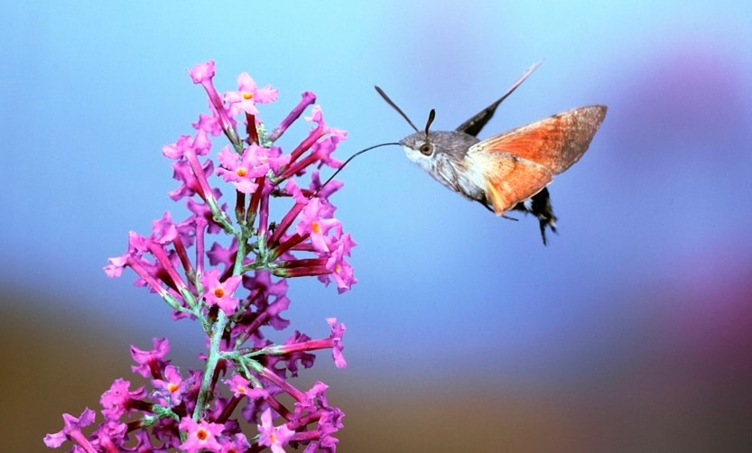 hovering hawk moths