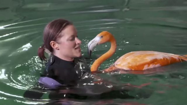 Flamingos swim with stingrays in their hydrotherapy session