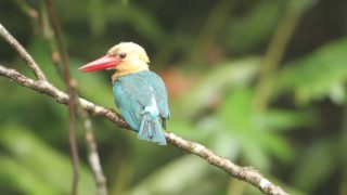 A preening stork-billed kingfisher