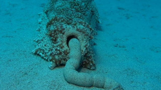 The benefits of sea cucumber poop