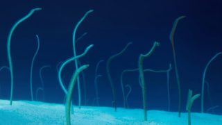 How do garden eels eat?