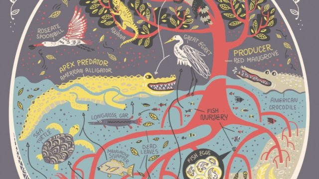 Florida's mangrove swamp ecosystem illustrated