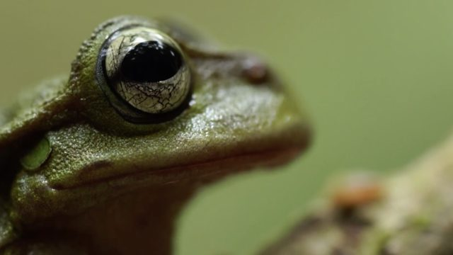 Sounds of Survival: The quest to record an exquisite spike-thumb frog mating call
