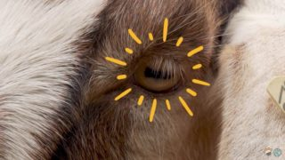 Why do goats have rectangular pupils?